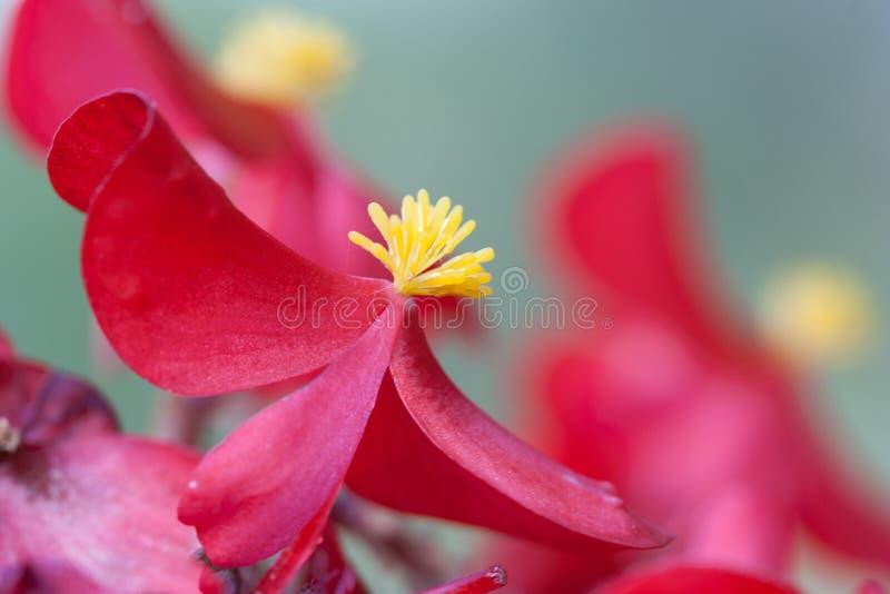 Красивый красный цветок с желтым цветнем в середине blos стоковое фото