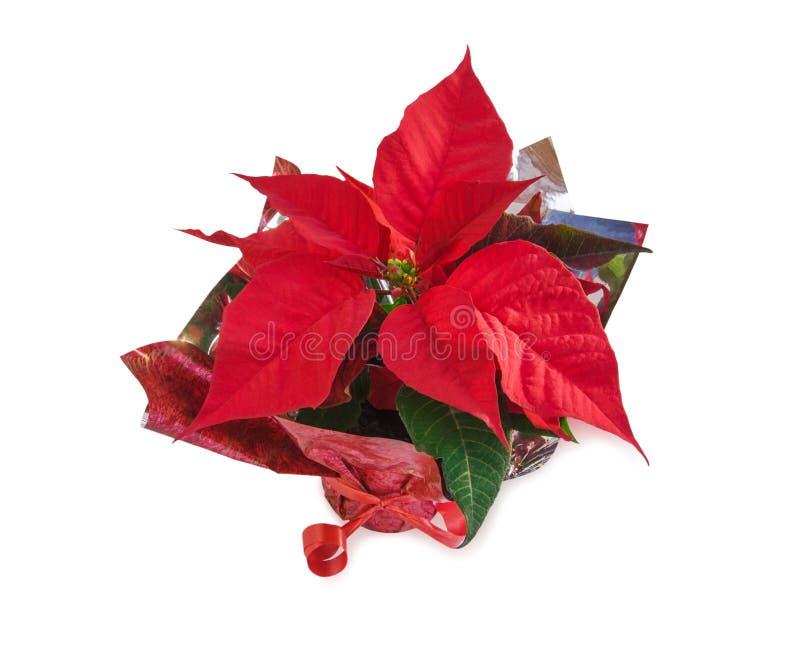 Красивый красный цветок poinsettia на белизне Взгляд сверху стоковые фото