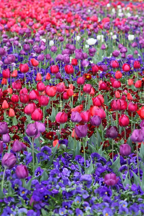 Красивый красочный тюльпан цветет Floriade стоковая фотография