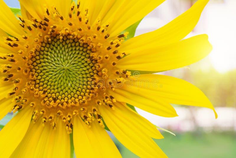 Красивый крупный план солнцецвета в саде стоковое изображение rf