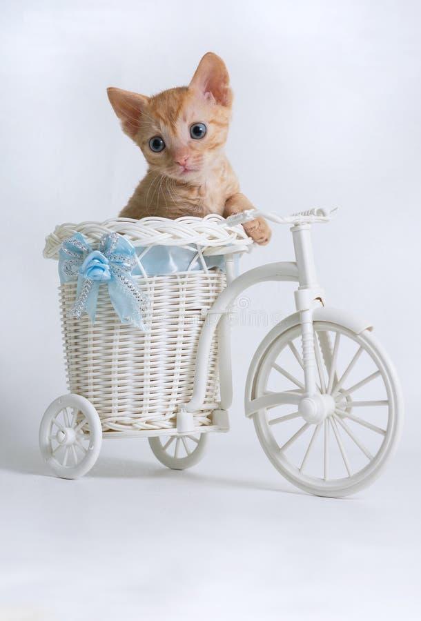 Красивый курчавый котенок Ural Rex сидит в корзине велосипеда игрушки и выглядит косым, изолированный на белой предпосылке стоковое фото rf