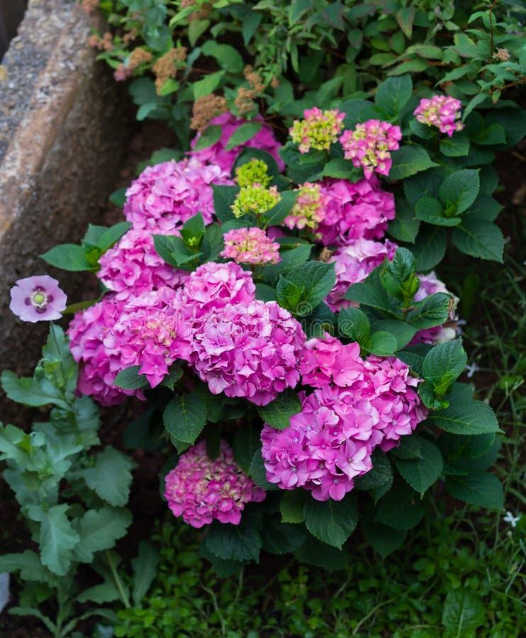 Красивый куст гортензии с различными разнообразиями и оттенками пинка и одиночный розовый мак в саде стоковое фото