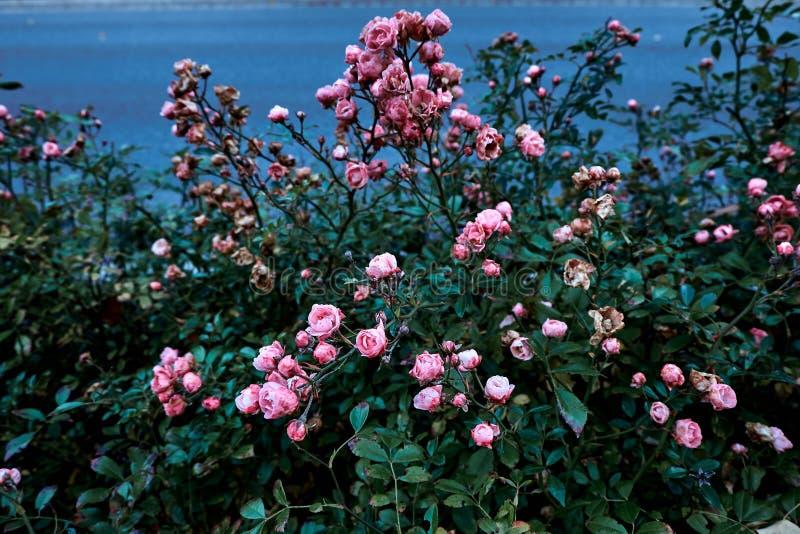 Красивый куст розовых роз в саде против голубой предпосылки реки стоковое фото rf