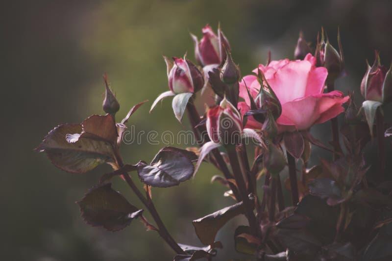 Красивый куст цветет, розы сада пинка красные в свете вечера на темной предпосылке для календаря стоковые фото