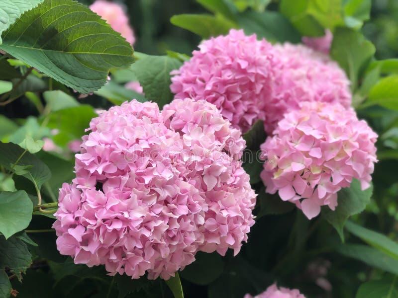 Красивый куст цветков гортензии стоковая фотография