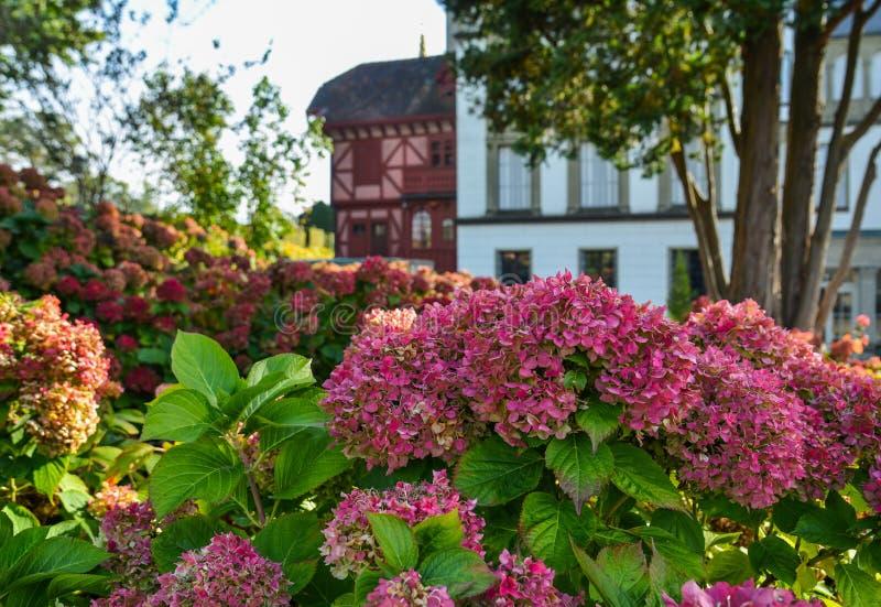 Красивый куст цветков гортензии стоковое фото