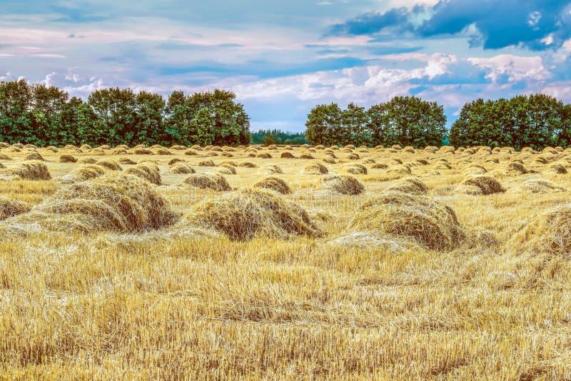 Красивый ландшафт восхода солнца природы Уши золотого конца пшеницы вверх Сельская сцена под солнечным светом стоковое фото rf