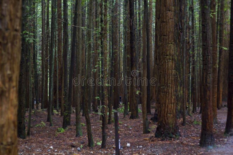 Красивый ландшафт леса Redwood стоковые фотографии rf