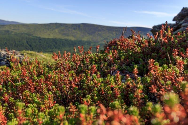 Красивый ландшафт лес-тундры Мхи и ветви заводов карлика против неба и гор Низкорастущий проползать стоковая фотография rf