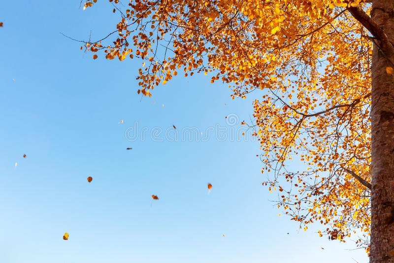 Красивый ландшафт осени - ветер ломает желтея листву осины стоковое фото