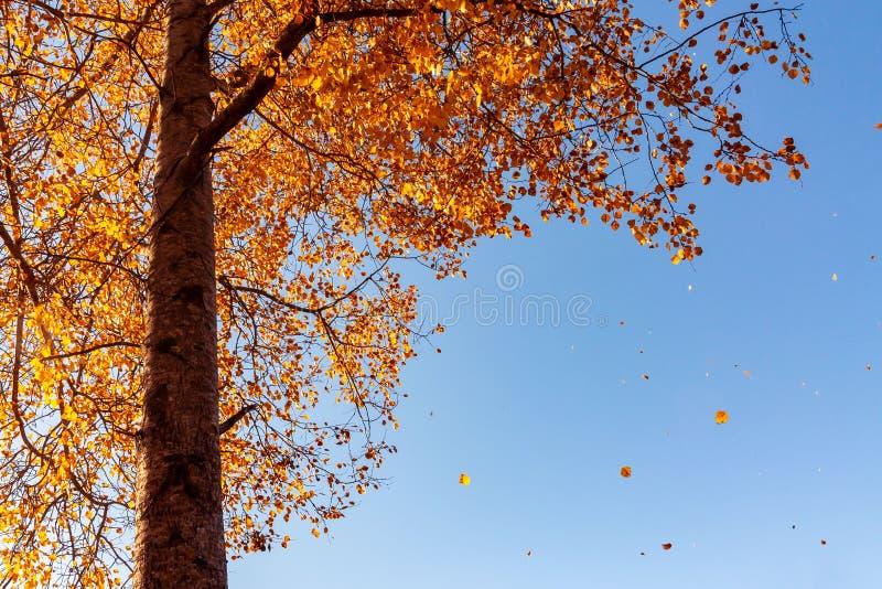 Красивый ландшафт осени - ветер ломает желтея листву осины стоковое изображение