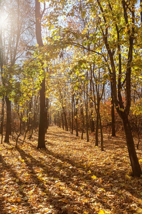 Красивый ландшафт осени с желтыми деревьями и солнцем Красочный f стоковое изображение rf