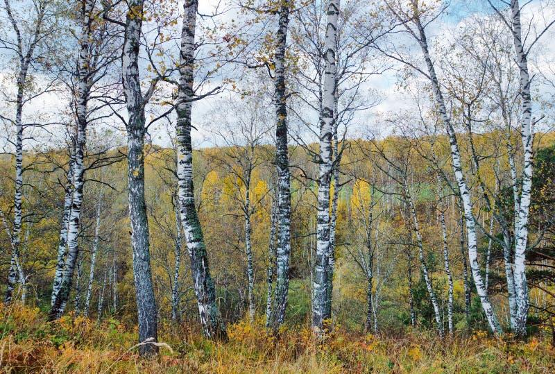 Красивый ландшафт осени с много хоботами березы на предпосылке удаленного леса стоковая фотография