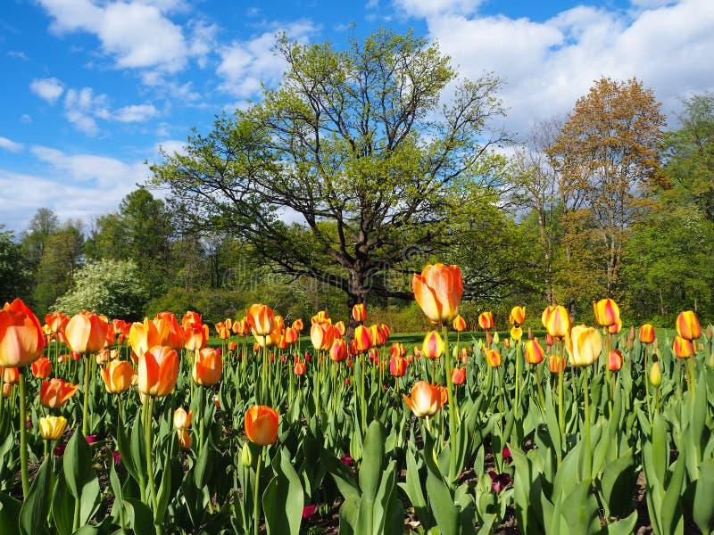Красивый ландшафт поля желтых и красных тюльпанов и большого зеленого дерева на предпосылке голубого неба стоковое фото rf