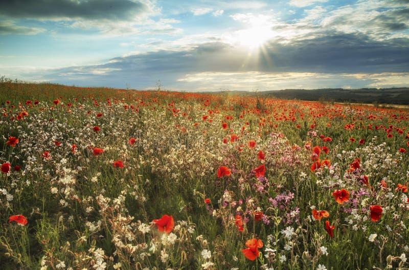 Красивый ландшафт поля мака в свете захода солнца лета на юге стоковое изображение