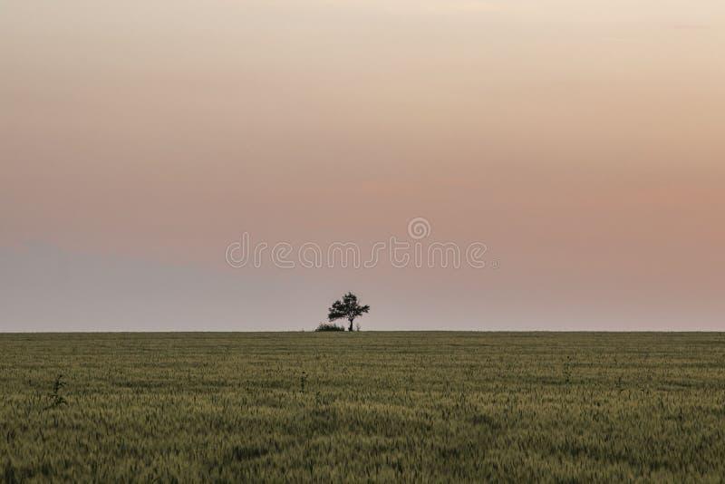 красивый ландшафт, сиротливое дерево в зеленом поле, красивом розовом заходе солнца, горизонте clearle видимое стоковые изображения