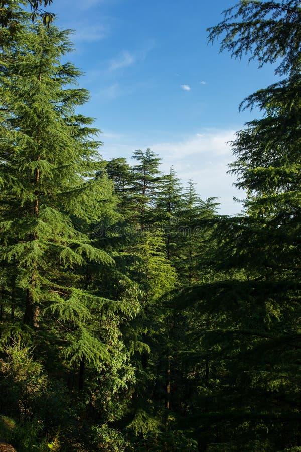Красивый ландшафт соснового леса в государстве Himachal Pradesh стоковые изображения