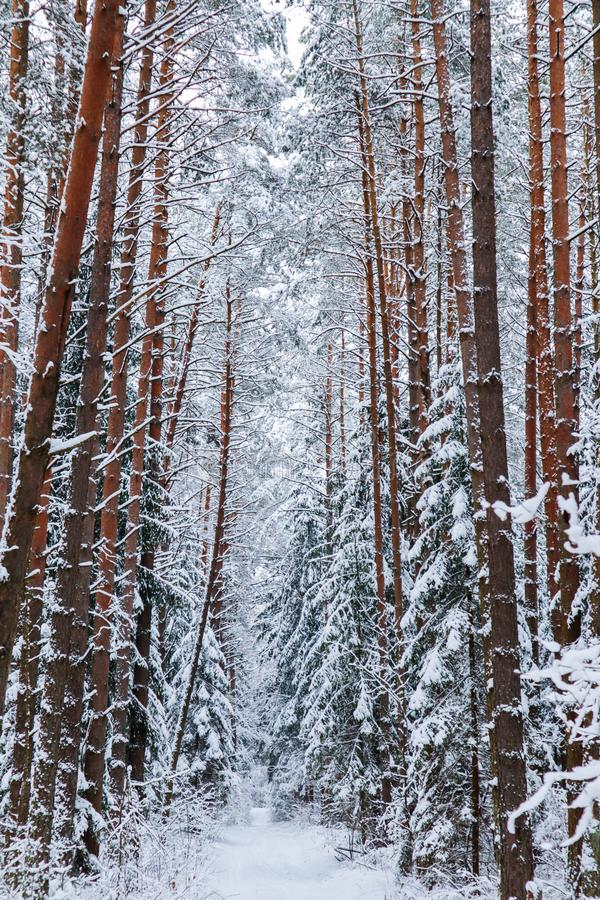 Красивый лес зимы со снежными деревьями и белой дорогой Серия  Ð тонких хворостин покрытых со снегом стоковое изображение rf