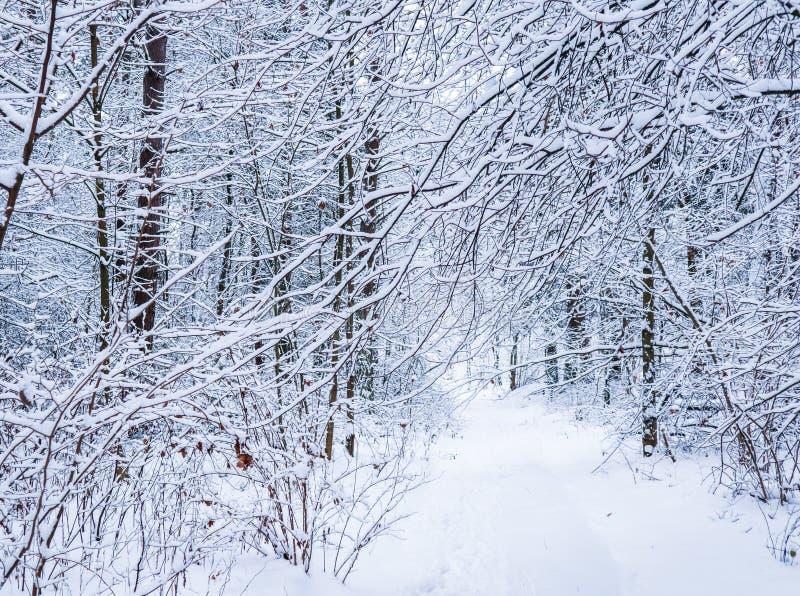 Красивый лес зимы со снежными деревьями Серия  Ð тонких хворостин покрытых со снегом стоковые изображения rf