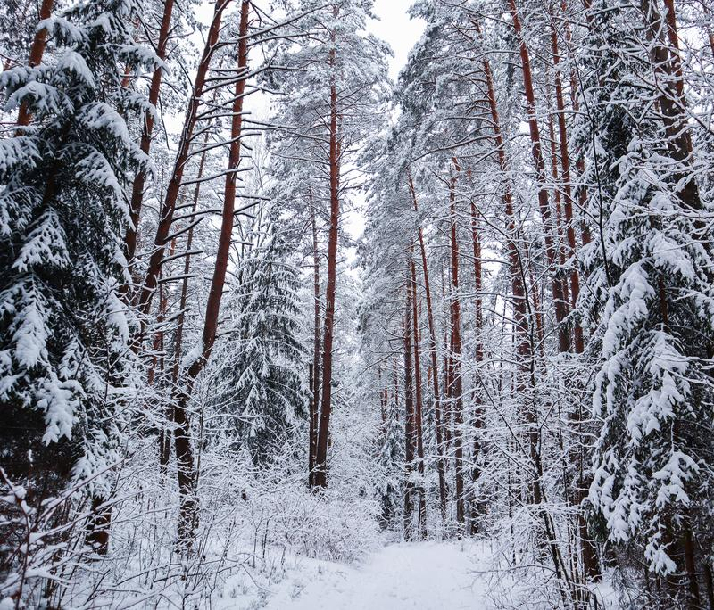 Красивый лес зимы с деревьями снега Изображение в голубом тоне стоковое фото