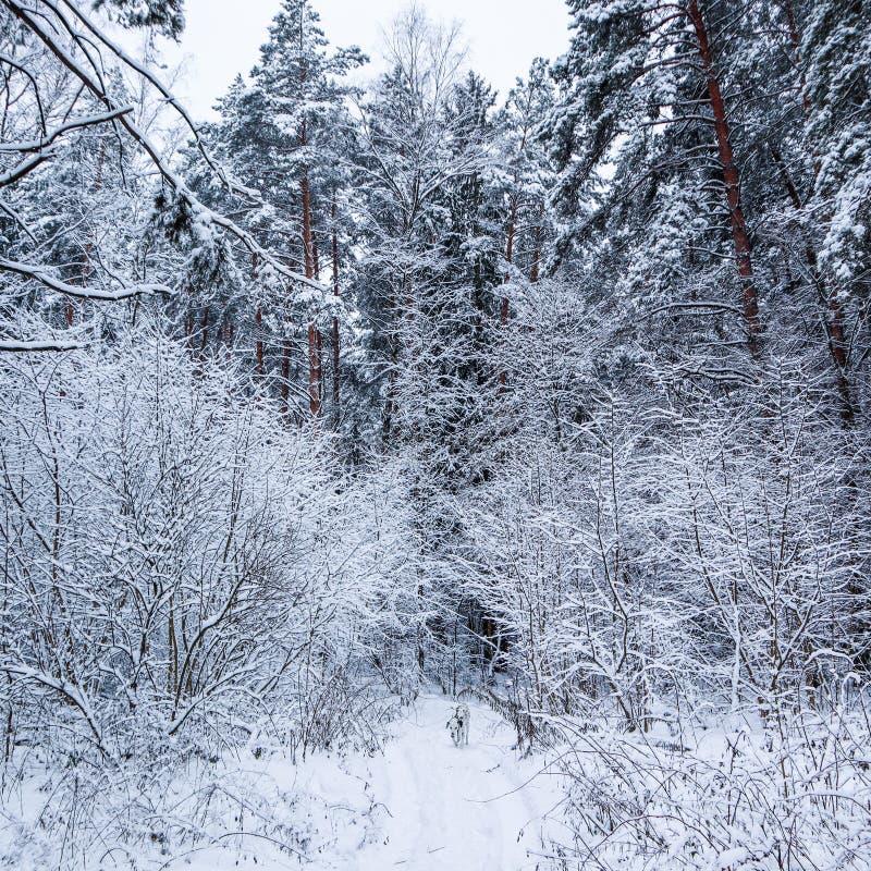 Красивый лес зимы с много тонкими хворостинами предусматриванными в снеге Идущий Далматин на снежном пути стоковое изображение