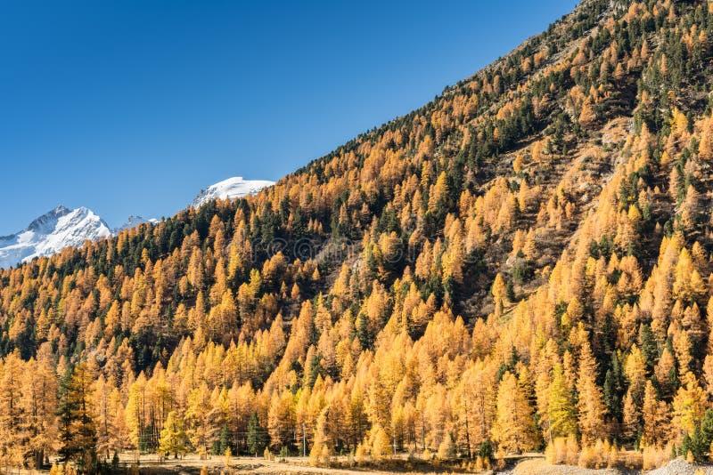 Красивый лес лиственницы в падении в швейцарца Альпы thew с снежными горами позади стоковые фотографии rf