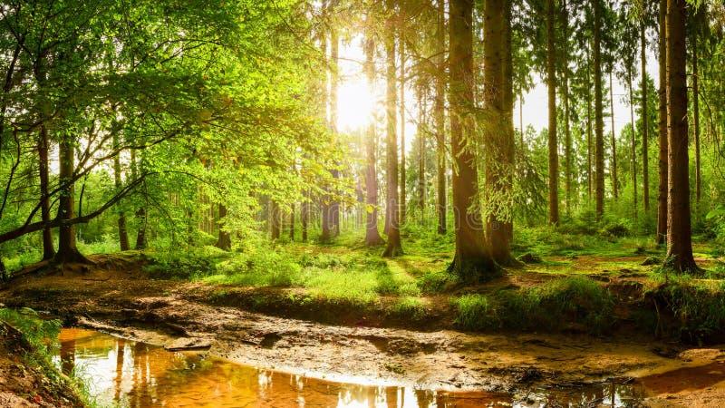 Красивый лес на восходе солнца стоковое изображение rf