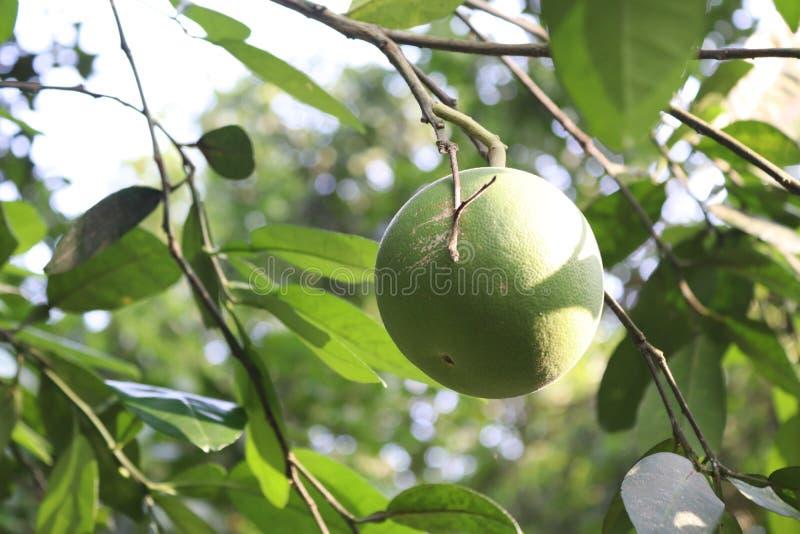 красивый лимон стоковое фото