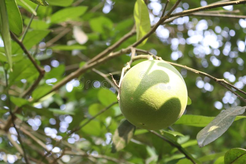 красивый лимон стоковые изображения