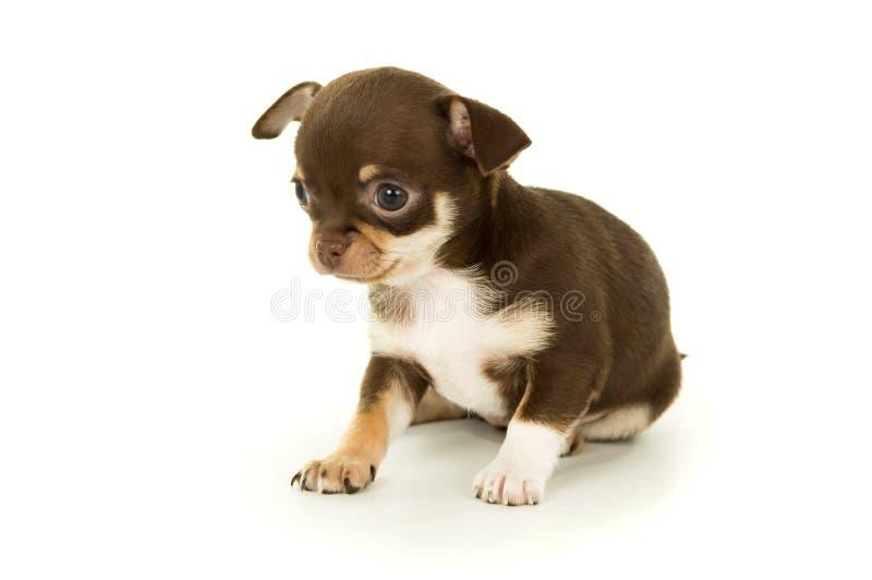 Download Красивый маленький щенок чихуахуа Стоковое Изображение - изображение насчитывающей прелестное, головка: 37929215