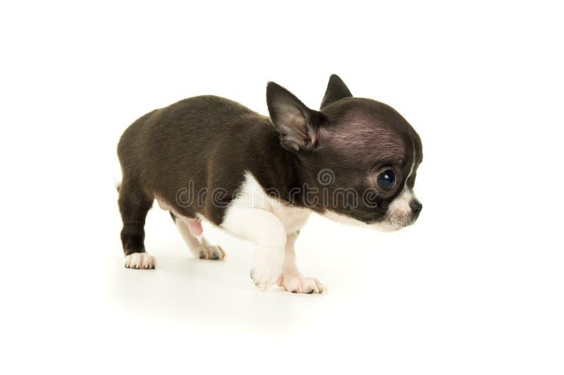 Download Красивый маленький щенок чихуахуа Стоковое Фото - изображение насчитывающей родословная, счастливо: 37929282