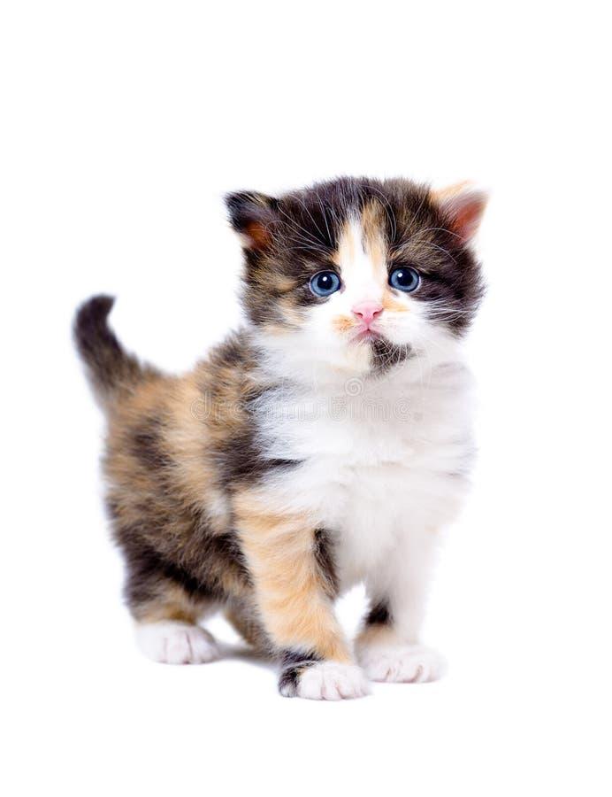 Красивый маленький tricolor котенок стоковые фото