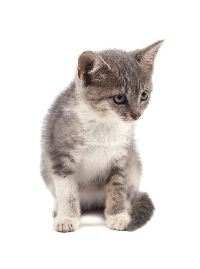 Красивый малый серый котенок изолированный на белой предпосылке стоковые фотографии rf