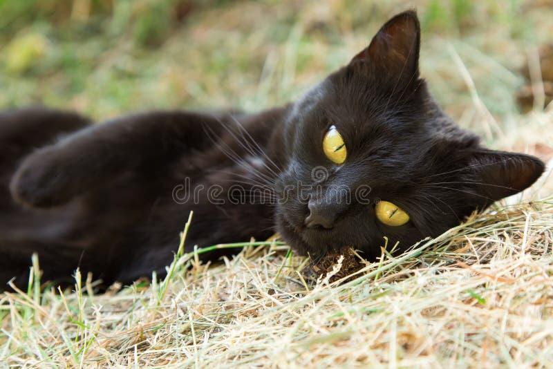 Красивый милый черный кот bombay с глазами желтого цвета лежит outdoors Крупный план портрета стоковые фотографии rf