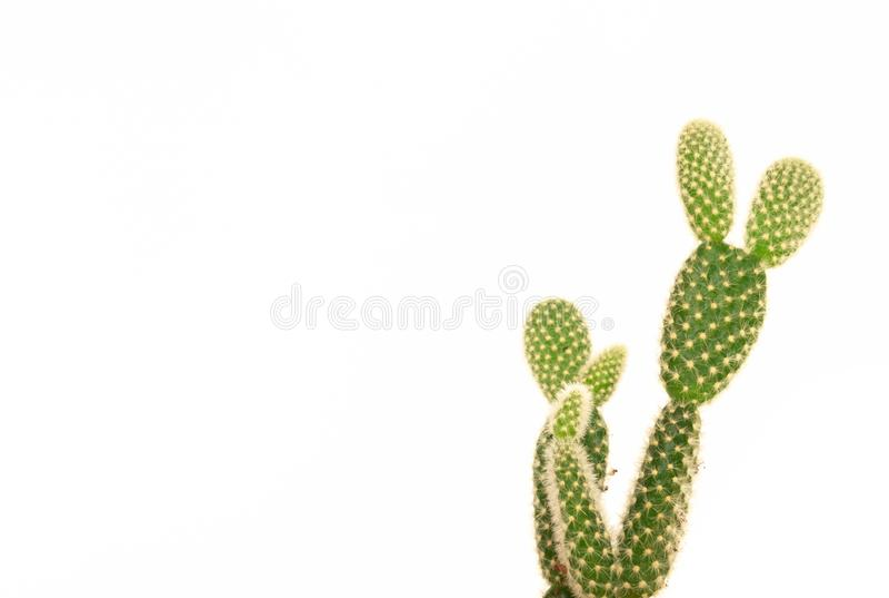 Красивый мини кактус изолированный на белой предпосылке стоковые фото