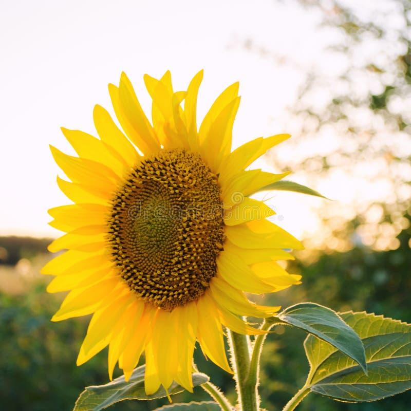Красивый молодой солнцецвет растя в поле на заходе солнца Земледелие и обрабатывать землю Аграрные урожаи Подсолнечник r стоковое изображение