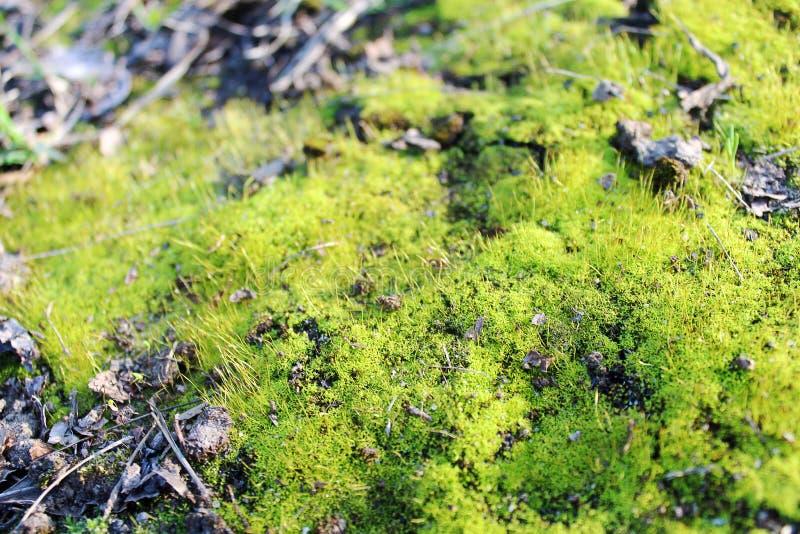 Красивый, мягкий, зеленый мох стоковое изображение rf