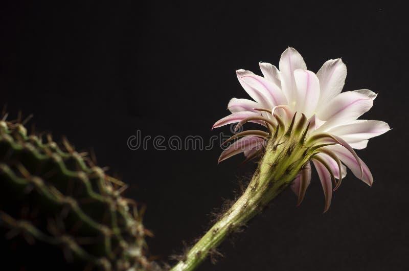 Красивый мягкий розовый цветок кактуса стоковое изображение rf