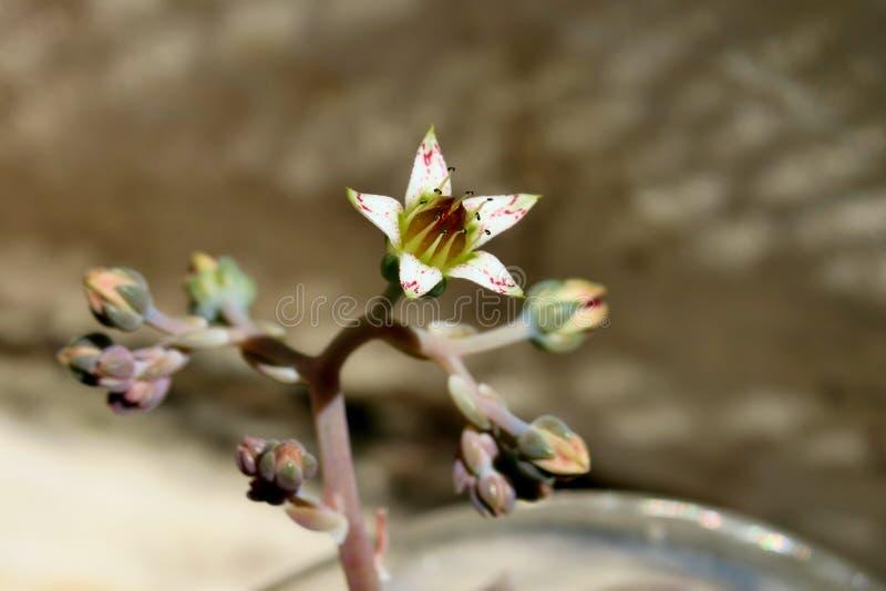 Красивый небольшой белый цветок с розовыми пятнами на серой предпосылке стоковое изображение