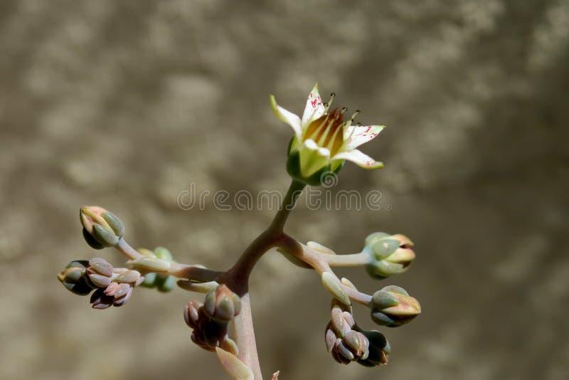 Красивый небольшой белый цветок с розовыми пятнами на серой предпосылке стоковая фотография rf