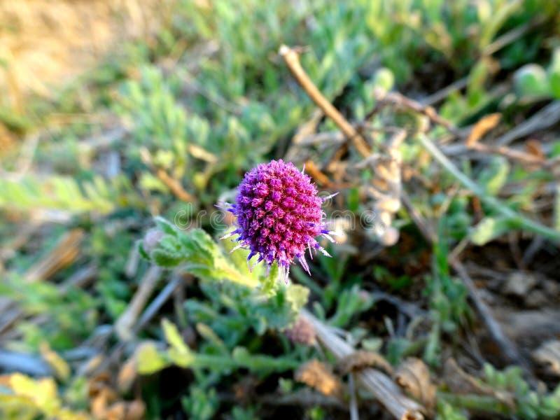 Красивый небольшой пурпурный цветок stinkwort thistle глобуса востока индийский с концом макроса листьев вверх по запачканному ко стоковые фото