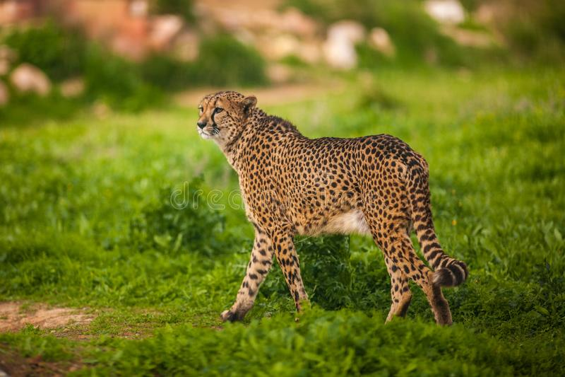 Красивый одичалый гепард, конец вверх стоковая фотография