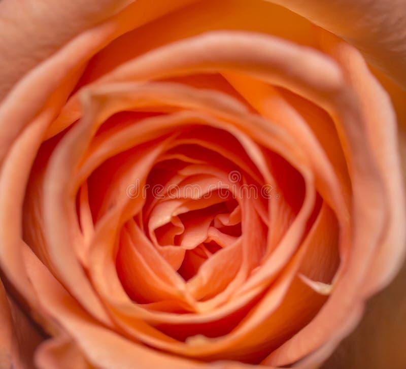 Красивый оранжевый цветок роз в розах предпосылки цветка Роза сада цветет текстура стоковые фото