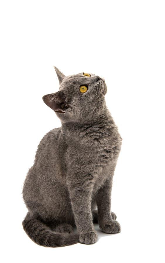 Красивый отечественный серый или голубой великобританский кот коротких волос с выкрикивает стоковые изображения rf