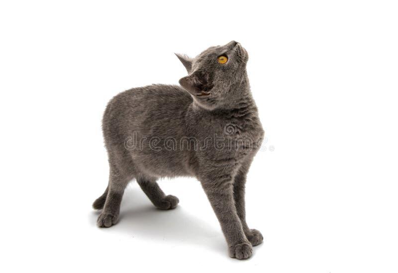 Красивый отечественный серый или голубой великобританский кот коротких волос с выкрикивает стоковое фото