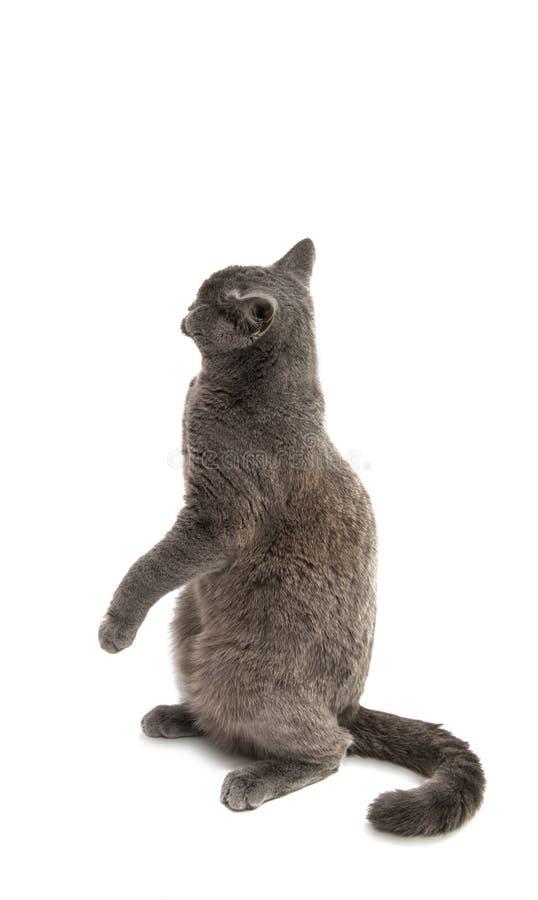 Красивый отечественный серый или голубой великобританский кот коротких волос с выкрикивает стоковое изображение