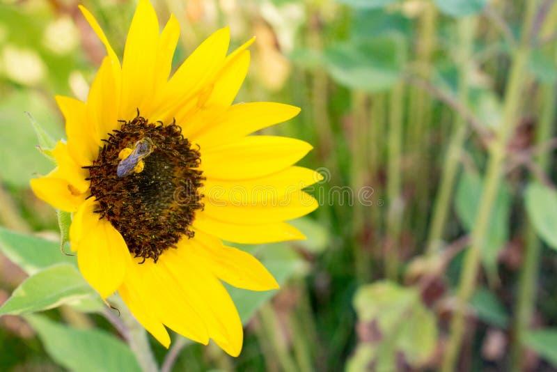 Красивый открытый желтый бутон солнцецвета с семенами и пчелой с цветнем на ногах стоковые фото