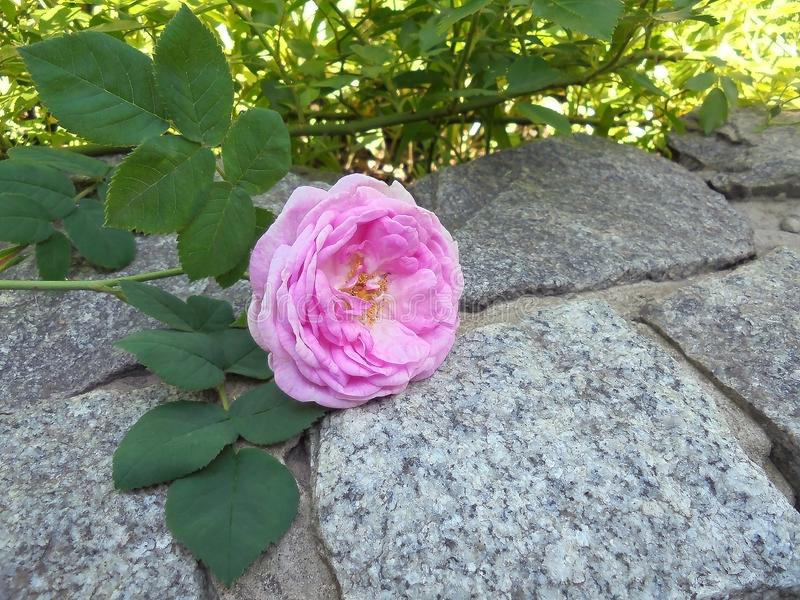 Красивый отрезанный пинк поднял лож на сером камне в саде стоковые фото