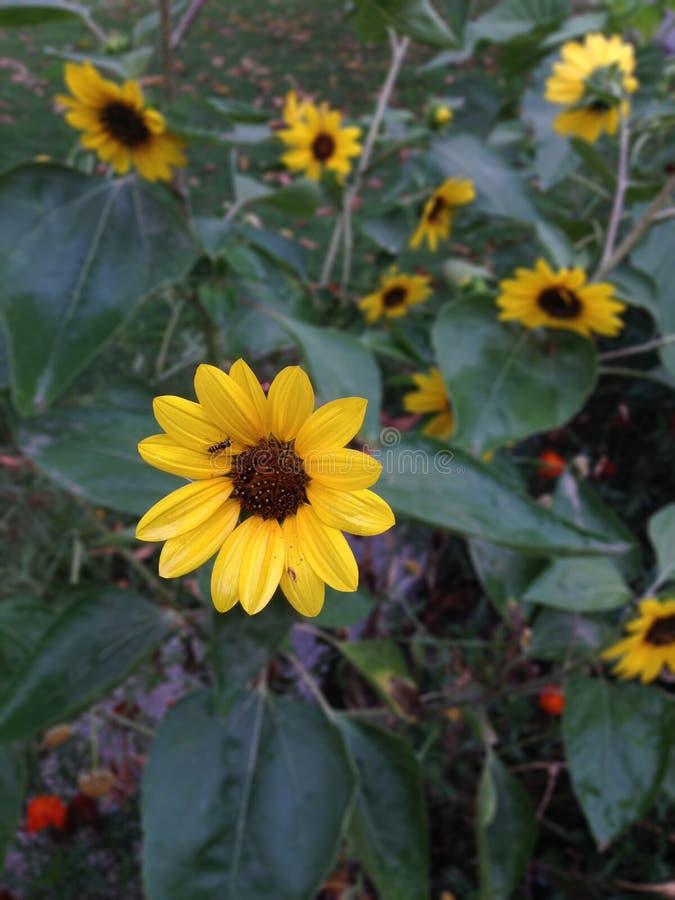 Желтые цветки в саде стоковое изображение rf