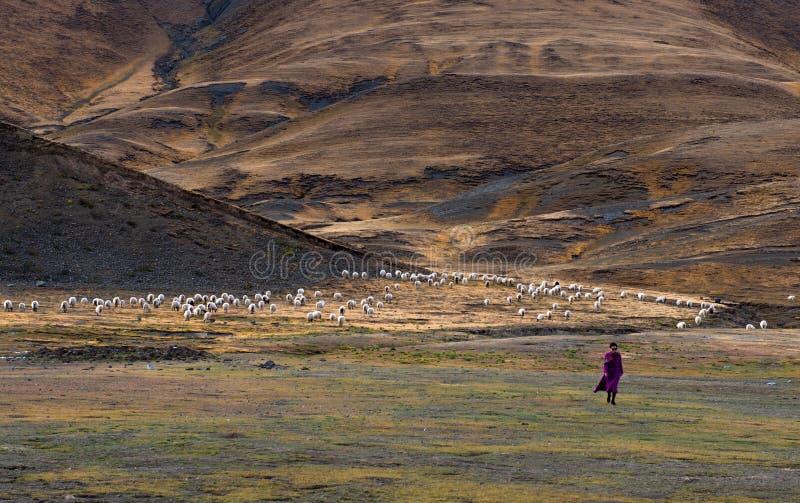 Красивый пейзаж: Овцы и женщина стоковые фото
